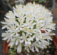 南アフリカ原産の珍花!ハエマンサス・フミリス ケイボロ ホワイト開花見込球 球根 1球