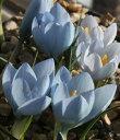 春咲き種! クロッカス・バイトピオラム球根 1球