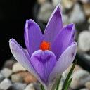 春咲き種!クロッカス・ヘウフェリアヌス'タービ'球根 1球