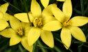 愛らしい星形の花姿! イフェイオン(ハナニラ)・セロウィアヌム 球根 10球