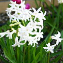 多輪咲きで見応え十分!性質強靭でこぼれ種でも増える!ヒヤシンス'フェスティバル'球根 ホワイト花 3球