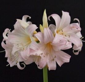オリジナル品種! 芳香あり!ベラドンナリリー'八重桜'球根 1球