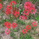 彼岸花の球根(鱗茎)300個