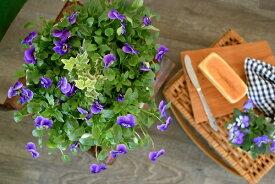 【寄せ植え】ビオラだけの寄せ植えブルー