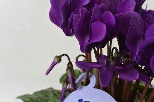 【花苗】シクラメンサントリーセレナーディアロイヤルブルーブリキポット(4号鉢)&肥料付き