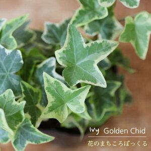 【花のまちころぼっくる】【アイビー ヘデラ】ゴールデンチャイルド(3寸ポット苗)ガーデニング・庭づくり・風水効果・グリーンリース観葉植物・インテリア・アレンジ・育てやすい