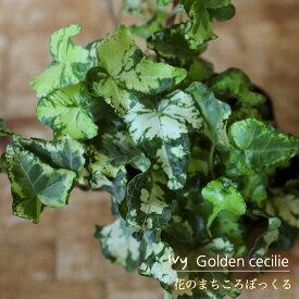 【花のまちころぼっくる】【アイビー ヘデラ】ゴールデンセシリエ(3寸ポット苗)ガーデニング・庭づくり・風水効果・グリーンリース観葉植物・インテリア・アレンジ・育てやすい