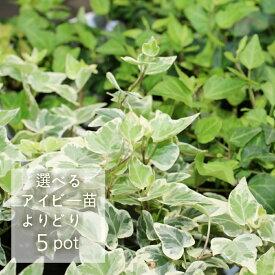 【花のまちころぼっくる】 選べる5ポット【アイビー ヘデラ】3寸ポット苗ガーデニング・庭づくり・風水効果・グリーンリース観葉植物・インテリア・アレンジ・育てやすい