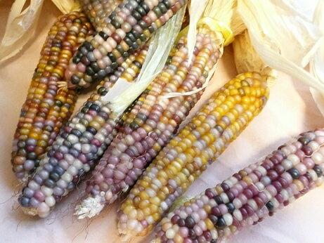 世界一美しいトウモロコシ話題グラスジェムコーンGlass Gem corn50粒
