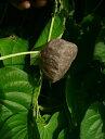 送料無料 令和元年産 宇宙芋(ソライモ)=エアーポテト 種芋 小粒 180g前後(6〜12個位)※擦れ、くぼみ等あり…