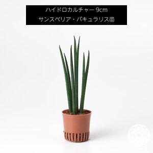 サンスベリア・バキュラリス 苗 リピーター様限定 観葉植物 ハイドロカルチャー9cm 9パイ 母の日