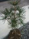 高野槇(コウヤマキ)苗木セット 約60cm×5本