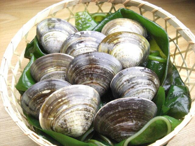 【はまぐり】三重 桑名 蓄養 活 蛤 (ハマグリ) 特大サイズ 300g (6〜8個)選りすぐりの 活はまぐり をお届け! 活ハマグリ は、お祝い事には、欠かせません。