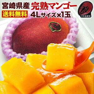 ポイント10倍 母の日 ギフト 果物 フルーツ マンゴー 宮崎 完熟 ご自宅用でも 完熟マンゴー超特大4L玉(510g以上) JA西都協賛 光センサー完全選果 mango 産地直送 父の日 Y常