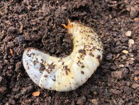 【送料無料】天然 カブトムシ 幼虫 飼育セット 8匹【フルセット】 熊本県産