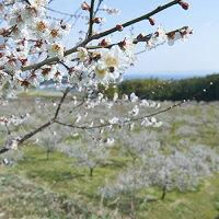 國盛FARM梅の花