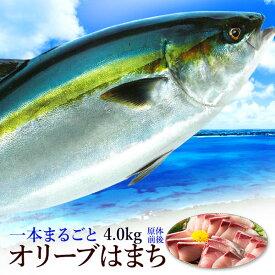 おりーぶはまち ハマチ 鮮魚 厳選!活け〆 オリーブハマチ 《1本まるごと:4kg超:下処理》香川が誇るブランド魚を丁寧に下処理しお届けします! ギフト凌駕する絶品の味わいをお届け 最高 ブランド