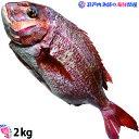 真鯛 たい 養殖鯛 タイ 活け〆の真鯛を丸ごとお届け! 2kg前後(原体サイズ) ◆愛媛を筆頭にプロが選ぶ良品の鯛をお届けします!(養…