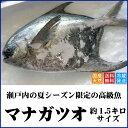天然マナガツオ 瀬戸内産(香川県) 約1.5キロサイズ【送料無料】水揚げされたばかりの鮮魚を直送します(クール冷蔵便:水揚げがあり…