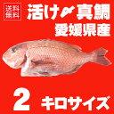 真鯛 たい 養殖鯛 タイ 活け〆の真鯛を丸ごとお届け! 2kg前後(原体サイズ) ◆愛媛...