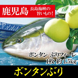 ボンタン ぶりフィーレ 1枚 約1.5kg/ボンタンぶり/刺身 ブリ大根 しゃぶしゃぶ 切り身 カマ