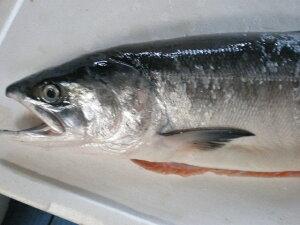 釧路産 時鮭(トキシラズ)1.5Kg〜1.8Kg (冷凍)