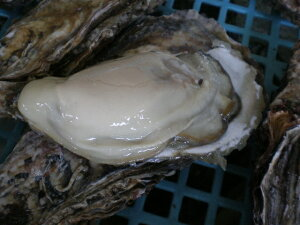 道東釧路の新鮮 厚岸産 超特大殻付活牡蠣 250g以上 20個
