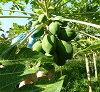 生物-标准件。 番木瓜发酵 (发酵的木瓜) 世界报 》 选择奖