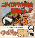 ◆「ニジイロクワガタ幼虫:5頭」 ※オス、メス判別していません【1.2令】