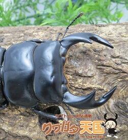 ◆アンタエウスオオクワガタペアオス70mmUP(ブータンシェムガン産)累代CB※オス×1 メス×1(虫)