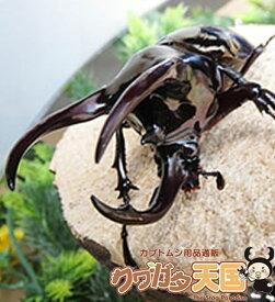 ◆アトラスオオカブト3令ペア幼虫(ミンダナオ産)累代WF1※オス×1・メス×1(虫)