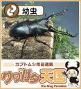 菌糸ビン付き ギラファノコギリクワガタ幼虫飼育セット◆ギラファノコギリクワガタ幼虫1頭+菌糸ビンE-800オス、メス判別していません…