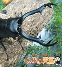 ◆「ギラファノコギリワガタ95mmUPペア」オス95mmUP:ロンボック産 オス×1・メス×1 WD(虫)