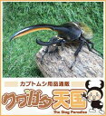 世界最大級カブトムシの王様◆ヘラクレスヘラクレス成虫ペア、オス115mmUP CB ※オス×1・メス×1