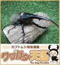 世界最大級カブトムシの王様◆ヘラクレスヘラクレス成虫ペア、オス135mmUP CB※オス×1 メス×1