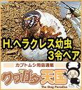 ◆H.ヘラクレス幼虫(3令)ペア*オス1頭、メス1頭セット 【グアドループCB】