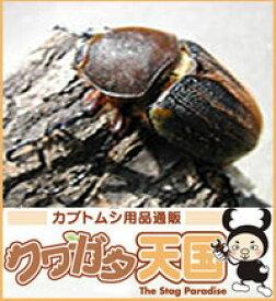 ◆H.ヘラクレス幼虫(3令)メス単品【グアドループ産】累代CB(虫)
