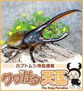 H.リッキー幼虫(2.3令)※オス・メスペア【累代CB】コロンビア サンタンデール産