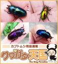 ◆「パプアキンイロクワガタ幼虫:1頭」 ※オス、メス判別していません(累代WF1:アルファック産)