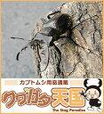 国産ミヤマクワガタオス50mmUP単品(野外採取WD)
