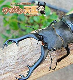 ◆「ギラファノコギリワガタ幼虫:フローレス産 1頭」累代CB ※オス、メス判別していません(虫)