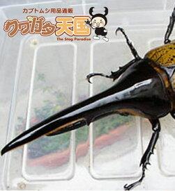 H.ヘラクレス幼虫(1.2令)1頭オス、メス判別していません 【グアドループCB】(虫)