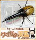 H.ヘラクレス幼虫(1.2令)1頭オス、メス判別していません【グアドループCB】