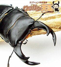 【緊急追加販売】昆虫ランキング1位獲得商品! お試し特価!◆「オオクワガタ幼虫1.2令 1頭」+菌糸ビン(菌糸瓶)(E-800)セット ※オス、メス判別していません10P12May11(虫)