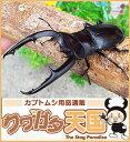 ◆「マンディブラリスフタマタクワガタ95mmUP」ペア:スマトラ島ジャンピ産 野外採取(WD)