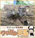 国産ミヤマクワガタペア 65mmUP(野外採取WD)群馬県産