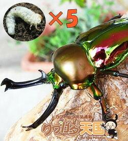 ◆「ニジイロクワガタ幼虫:5頭」 ※オス、メス判別していません【1.2令】(虫)