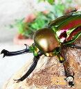 初心者にオススメ!世界一美しいクワガタ!ニジイロクワガタ幼虫2013!◆ニジイロクワガタ幼虫1頭※オス、メス判別し…