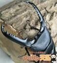 パラワンオオヒラタクワガタ幼虫◆パラワンオオヒラタクワガタ幼虫1頭※オス、メス判別していません。(虫)
