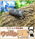 ◆パラレルスネブトクワガタペアオス35mmUP(ベンクール産)野外採取品WD